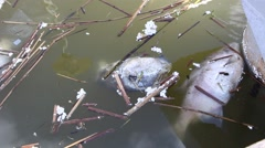 Dead fish in dirty water 2 Stock Footage