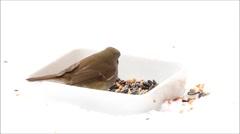 Robin bird, feeding winter fodder, white background, snow Stock Footage