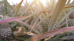 Pineapple field on tropical island Stock Footage