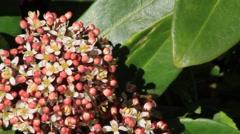 Closeup blossoms leaves and flowers of Laurustinus, Viburnum tinus Stock Footage