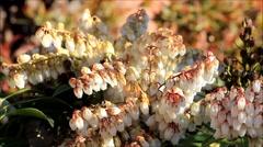 Springtime flowers blossom pieris japonica Stock Footage