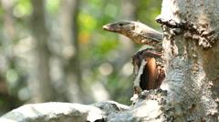 Monitor Lizard Stalking Stock Footage