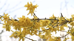 Forsythia springtime Stock Footage