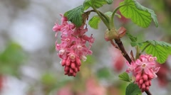 Flowering Currant, spring,  Ribes Sanguineum Stock Footage
