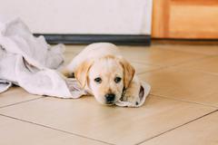Stock Photo of White Labrador Retriever Puppy Sit On Floor