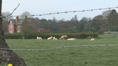 Stock Video Footage of Cattle rest and chew the cud seen through barbed wire..