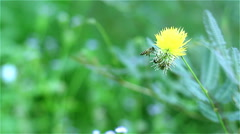 This morning,a bee is foraging. Stock Footage