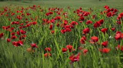 Big field with the blossoming red poppies Stock Footage