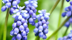 Blue decorative flowers in the garden. Stock Footage