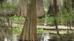 Stock Video Footage of Swampy scene with cypress trees, logs and moss