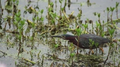 Little Green Heron walking through swamp Stock Footage