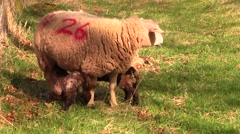 Scotland countryside. Ewe lambs nursing Stock Footage