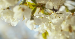 Spring Cherry Blossom Blooming Stock Footage