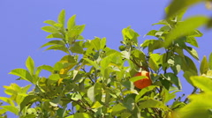 Oranges and blue sky. Stock Footage