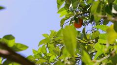 Orange tree. Stock Footage