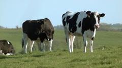 Irish cows Stock Footage