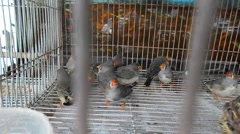 Zebra finches are kept in cages, they look very lovely Stock Footage