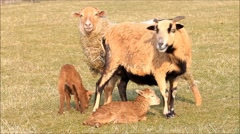 Spring, two ewes and two lamb, brown, meadow Stock Footage