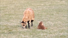 Baby lamb with its mother in the meadow Stock Footage