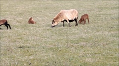 Sheep in spring, lambs, family Stock Footage