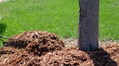 Raking garden mulch around base of a plum tree 4K Stock Footage