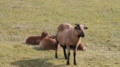 Sheep on meadow, farming, spring, lambs Stock Footage