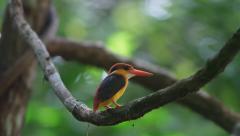 Colorful Kingfisher bird, Black-backed Kingfisher Stock Footage