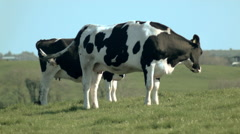 Irish cows Stock Footage