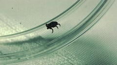 Ixodes scapularis is commonly known as the deer tick or blacklegged tick . Stock Footage