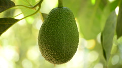 Avocado fruit hanging at branch of tree Stock Footage