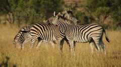 Interacting plains Zebras, African wildlife, South Africa Stock Footage