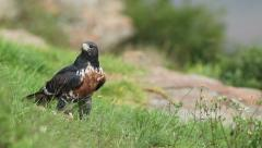 Jackal buzzard feeding - stock footage