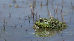 Mating African giant bullfrogs Stock Footage