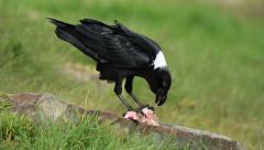A white-necked raven (Corvus albicollis) feeding on the ground, South Africa Stock Footage