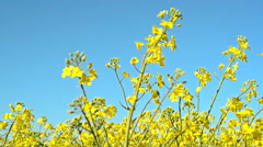 Oilseed Rapeseed Flowers in Cultivated Agricultural Field, Crop Protection Stock Footage