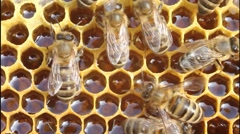 Bees and nectar Stock Footage