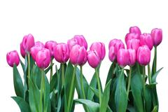 Isolated fresh colorful tulip - stock photo