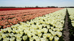 LISSE, THE NETHERLANDS - APRIL 21 2015: Keukenhof is the Garden of Europe. Stock Footage