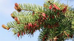Closeup of pine branch with new brown cones in sunny day trembling in the wind. Stock Footage