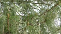 Detailed view of the needles of a scots pine Stock Footage