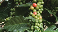 Coffee beans growing at the Doi Ang Khang Royal Agricultural station, Thailand. Stock Footage
