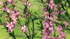 Great spring background with blossoming branches of pink almond tree. Stock Footage