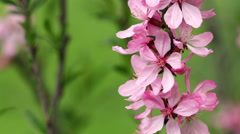 Closeup of blooming pink almond tree branches trembling in the wind Stock Footage