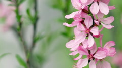 Great nature scene with blooming pink almond tree branches. - stock footage
