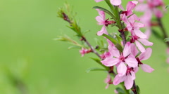 Branch of a blossoming pink almond tree on garden background. Stock Footage