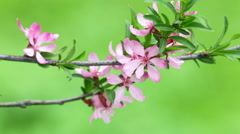 Horizontal blooming pink almond tree branches trembling against greens. Stock Footage