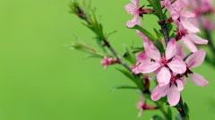 Branch of a blossoming pink almond tree against greens. - stock footage