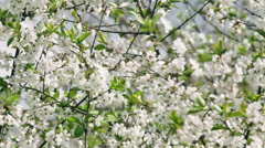 Blossoming branches of white cherry tree trembling in the wind. Stock Footage