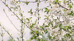 Pan across blossoming branches of white cherry tree in sunny day. Stock Footage