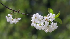 Blossoming branch of white cherry tree trembling in the wind. Stock Footage